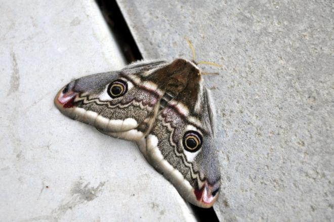 paon de nuit,papillon de nuit