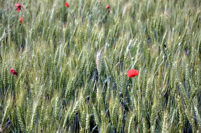 blé coquelicot champs